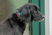 BILLY, Hund, Irish Setter-Mix in Weiler - Bild 6