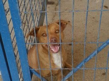HONEYBEAR, Hund, Podenco-Mix in Spanien - Bild 2