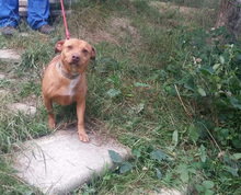 HONEYBEAR, Hund, Podenco-Mix in Spanien - Bild 5