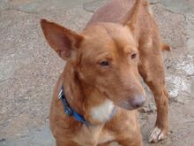 WOLLY, Hund, Podenco-Mix in Lauter-Bernsbach - Bild 2