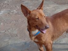 WOLLY, Hund, Podenco-Mix in Lauter-Bernsbach - Bild 3