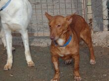 WOLLY, Hund, Podenco-Mix in Lauter-Bernsbach - Bild 5