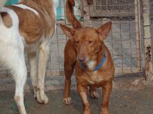 WOLLY, Hund, Podenco-Mix in Lauter-Bernsbach - Bild 6