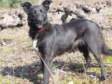 TONI, Hund, Border Collie in Spanien - Bild 11