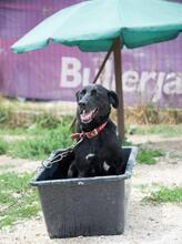 MANCS, Hund, Labrador-Mix in Ungarn - Bild 3