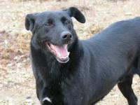 MANCS, Hund, Labrador-Mix in Ungarn - Bild 5