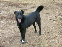 MANCS, Hund, Labrador-Mix in Ungarn - Bild 6