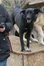 MANCS, Hund, Labrador-Mix in Ungarn - Bild 7