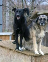 MANCS, Hund, Labrador-Mix in Ungarn - Bild 8