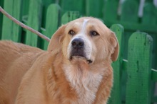 MOJO, Hund, Golden Retriever-Mix in Spanien - Bild 1