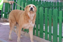 MOJO, Hund, Golden Retriever-Mix in Spanien - Bild 2