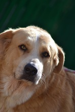 MOJO, Hund, Golden Retriever-Mix in Spanien - Bild 4