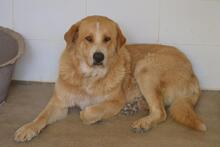 MOJO, Hund, Golden Retriever-Mix in Spanien - Bild 6