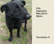 ERIK, Hund, Labrador Retriever in Slowakische Republik - Bild 1