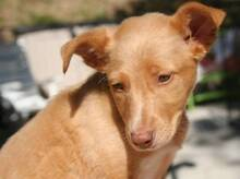 FILIPO, Hund, Podenco-Mix in Spanien - Bild 1