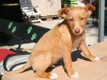 FILIPO, Hund, Podenco-Mix in Spanien - Bild 2