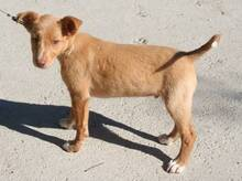 FILIPO, Hund, Podenco-Mix in Spanien - Bild 4