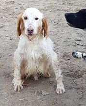 FERDY, Hund, English Setter in Granzin - Bild 15