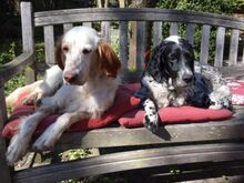 FERDY, Hund, English Setter in Granzin - Bild 2