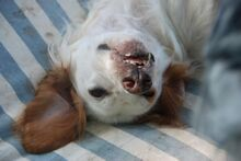 FERDY, Hund, English Setter in Granzin - Bild 20