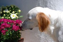 FERDY, Hund, English Setter in Granzin - Bild 22