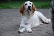 FERDY, Hund, English Setter in Granzin - Bild 23