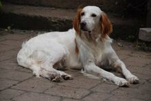 FERDY, Hund, English Setter in Granzin - Bild 24