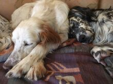FERDY, Hund, English Setter in Granzin - Bild 6