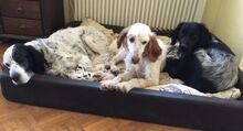 FERDY, Hund, English Setter in Granzin - Bild 7