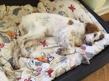 FERDY, Hund, English Setter in Granzin - Bild 9