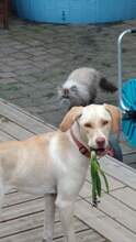 EMMA, Hund, Labrador Retriever-Mix in Wegberg - Bild 2