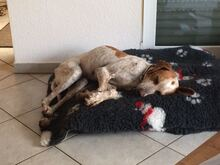 REX3, Hund, Pointer-Mix in Hude - Bild 13