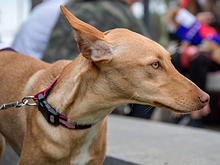 INKA, Hund, Podenco-Mix in Spanien - Bild 12