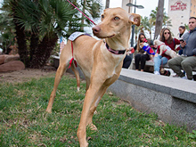 INKA, Hund, Podenco-Mix in Spanien - Bild 13