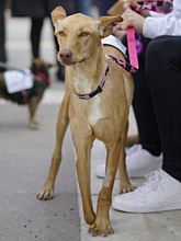 INKA, Hund, Podenco-Mix in Spanien - Bild 14