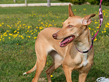 INKA, Hund, Podenco-Mix in Spanien - Bild 16