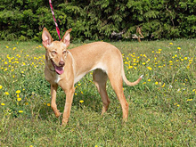 INKA, Hund, Podenco-Mix in Spanien - Bild 17