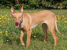 INKA, Hund, Podenco-Mix in Spanien - Bild 18