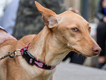 INKA, Hund, Podenco-Mix in Spanien - Bild 2