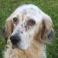 DIANA, Hund, English Setter in Granzin - Bild 1
