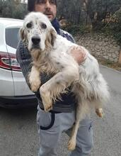 DIANA, Hund, English Setter in Granzin - Bild 10