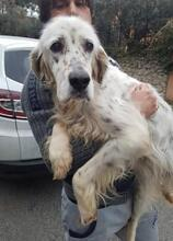 DIANA, Hund, English Setter in Granzin - Bild 11