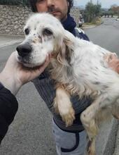 DIANA, Hund, English Setter in Granzin - Bild 12