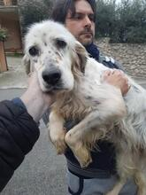DIANA, Hund, English Setter in Granzin - Bild 14