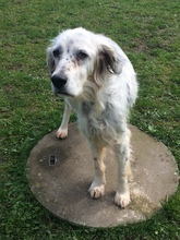 DIANA, Hund, English Setter in Granzin - Bild 15