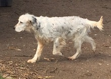 DIANA, Hund, English Setter in Granzin - Bild 18