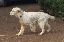 DIANA, Hund, English Setter in Granzin - Bild 19