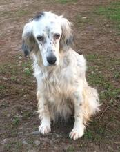 DIANA, Hund, English Setter in Granzin - Bild 2