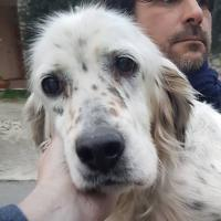 DIANA, Hund, English Setter in Granzin - Bild 21