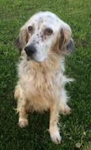 DIANA, Hund, English Setter in Granzin - Bild 3
